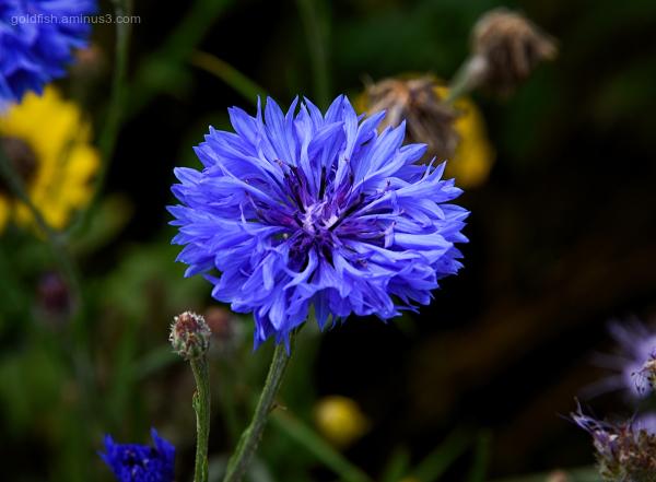 Centaurea Cyanus - Cornflower