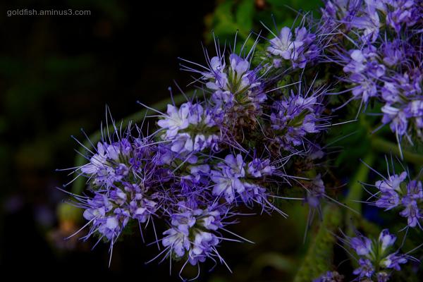 Lacy Phacelia - Purple Tansy