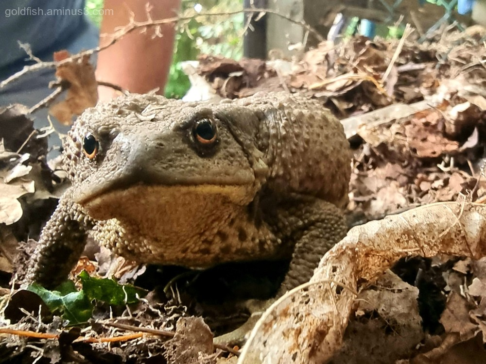 Leaf Mulch Resident - Common Toad