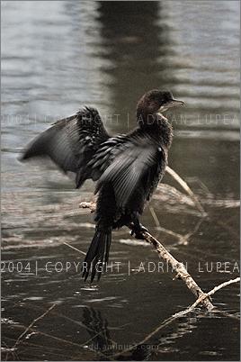 cormoran mic ( Phalacrocorax  pygmeus )