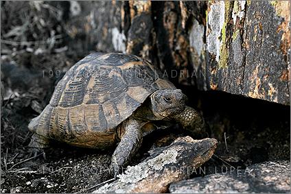 broasca ţestoasă dobrogeană (Testudo graeca)