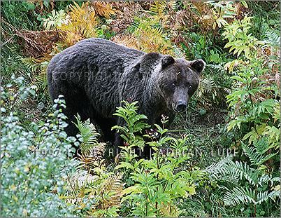 ursu (Ursus arctos)