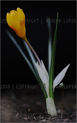 brînduşă  (Crocus moesiacus)