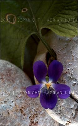 toporaş  (Viola odorata)