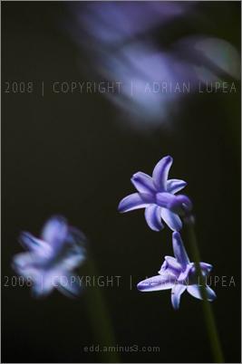 zambila (Hyacinthus  orientalis)