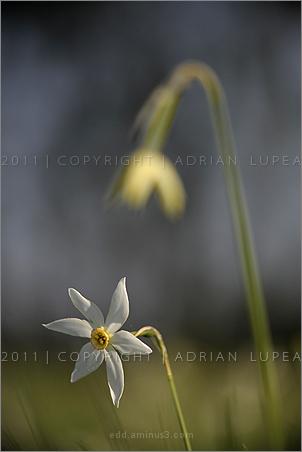 narcisa albă sălbatică  (Narcissus  angustifolius)