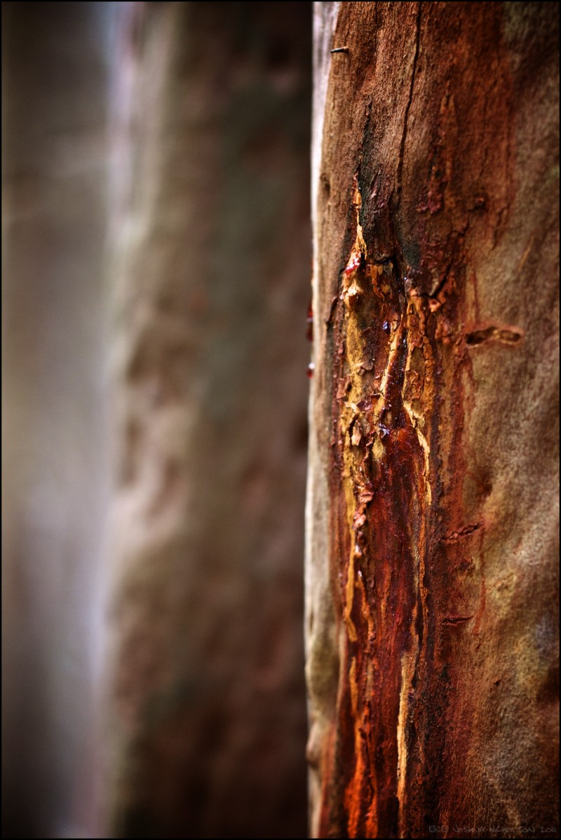 Scarred Gum Tree