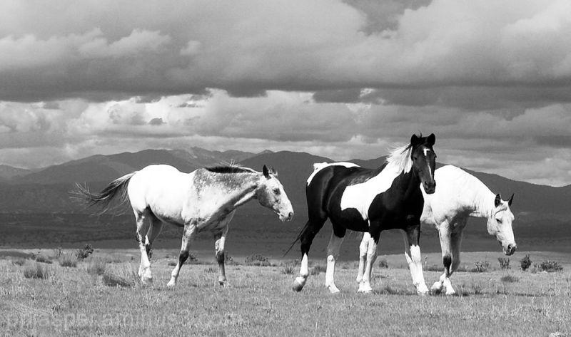 Three Horses Wander