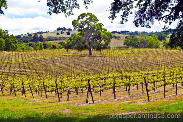 Amador County Vineyard Scene