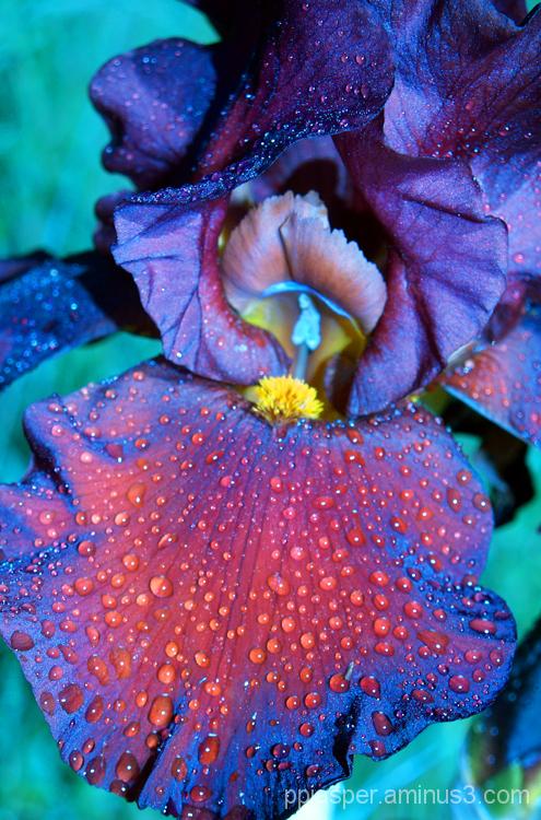 Bearded Iris with Dew