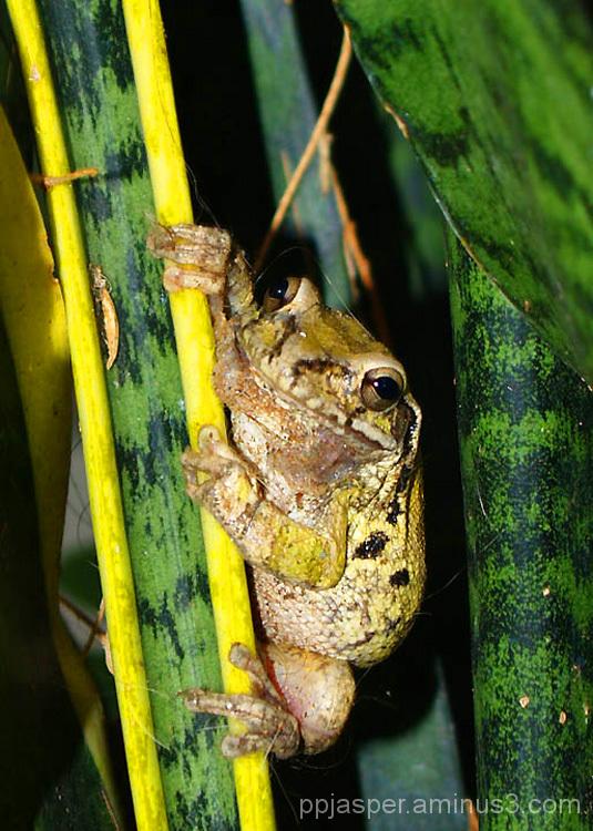 Rana (frog) - MX