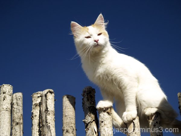 Kitty on a Coyote Fence