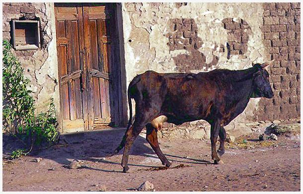 Vaca - MEX