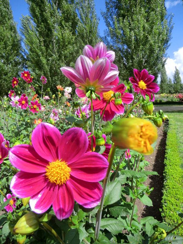 Dahlia rose au jardin des anges