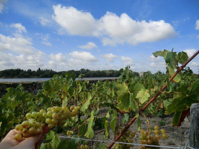 Grappe de raisins au jardin méditerranéen