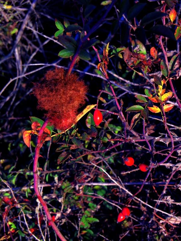 Touffe rousse