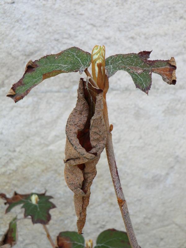 Hydrangeas à deux saisons