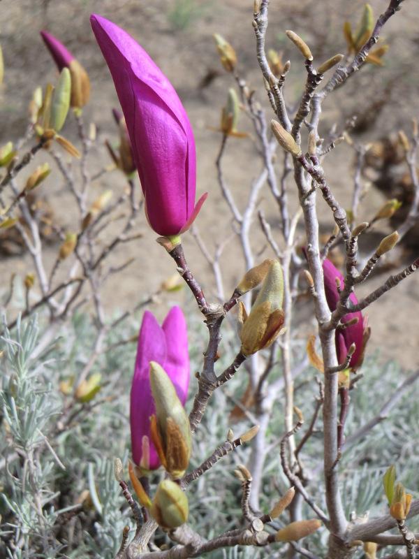 Le tulipier soulangea