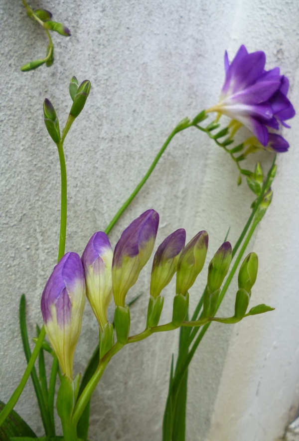La naissance d'un bourgeon de freesias
