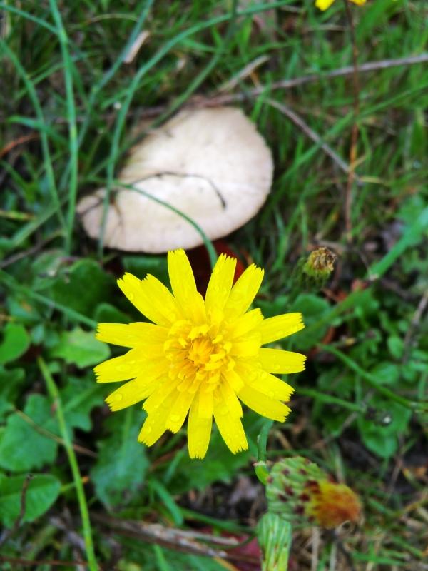 Le champignon ouvre son parapluie...