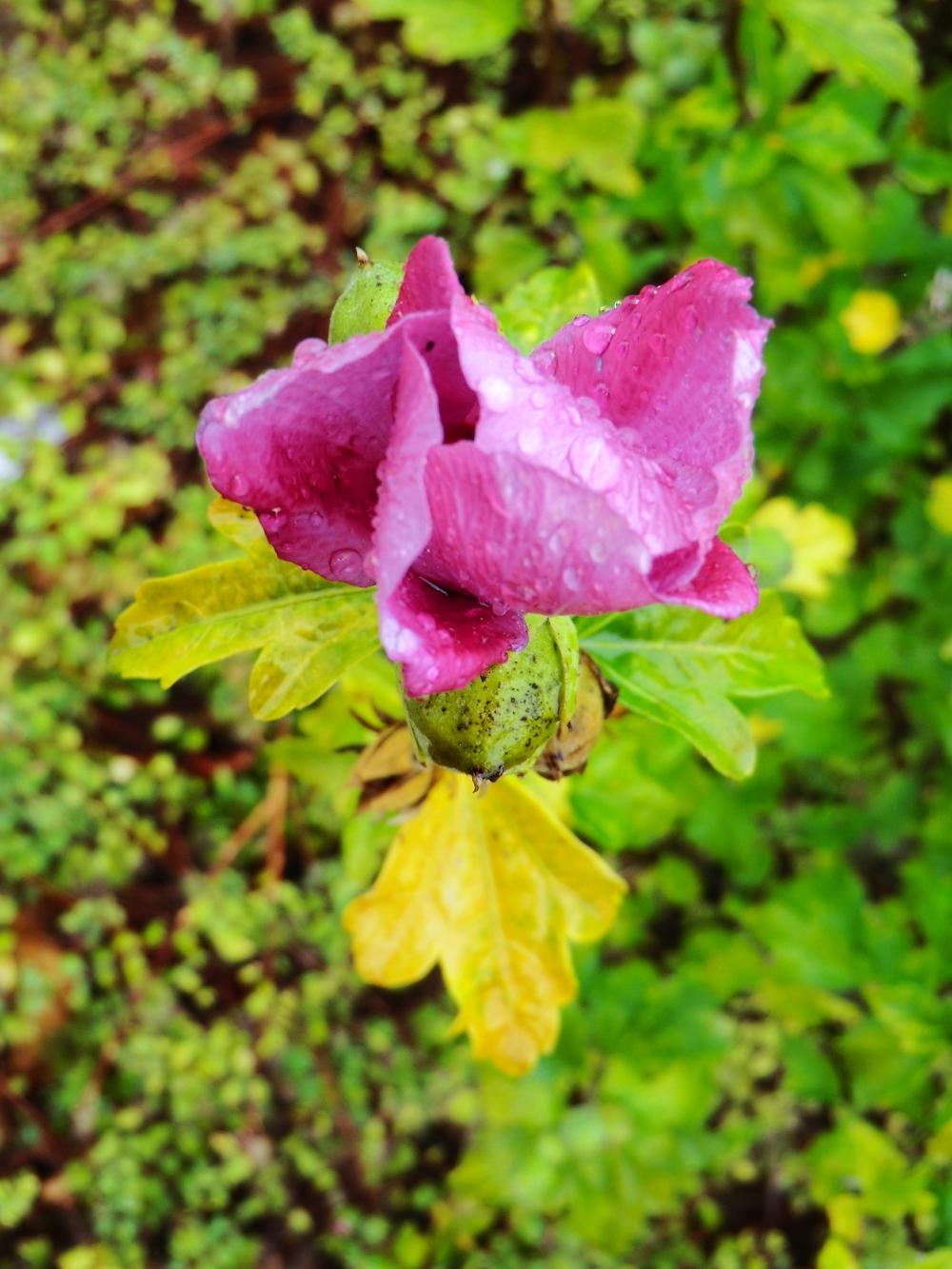 La rose qui s'éclore sous la pluie....