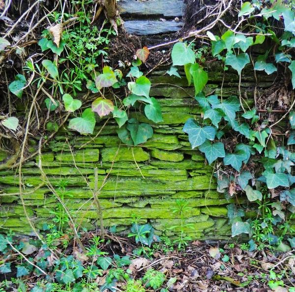 Un muret d'ardoises se colore de verts de lierres