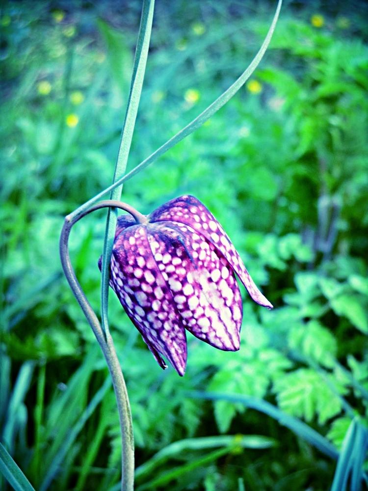 La fleur bleue rêvée m'ouvre la porte de l'Anjou