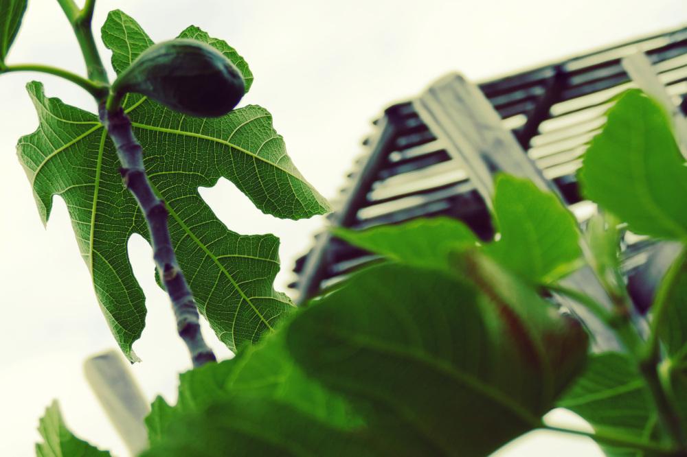 La figue se fraye à travers ses vertes voiles