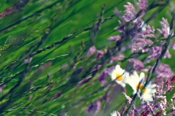 Des épis lavandins au vole au vent...