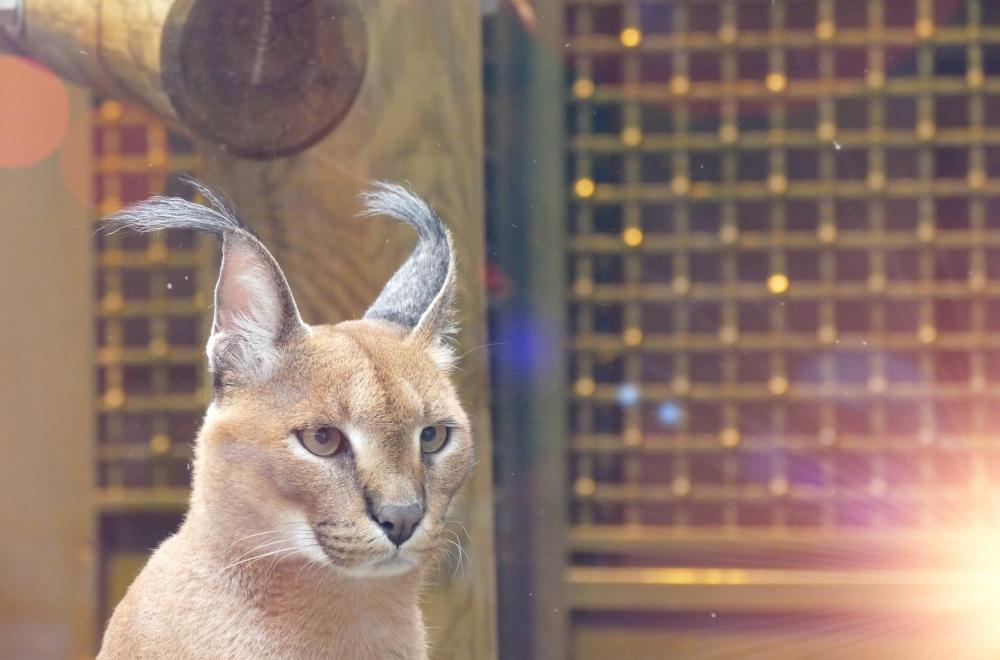 L'oeil de lynx est une grande richesse du monde