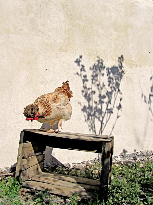 """Crested Chicken"""""""