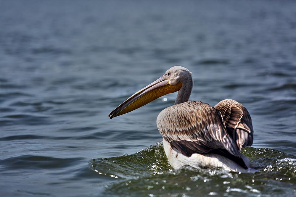 Pelican / 1