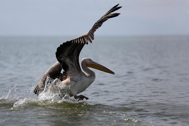 Pelican / 2