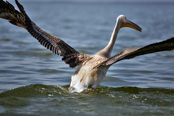 Pelican / 3