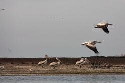iran miankaleh-peninsula pelican