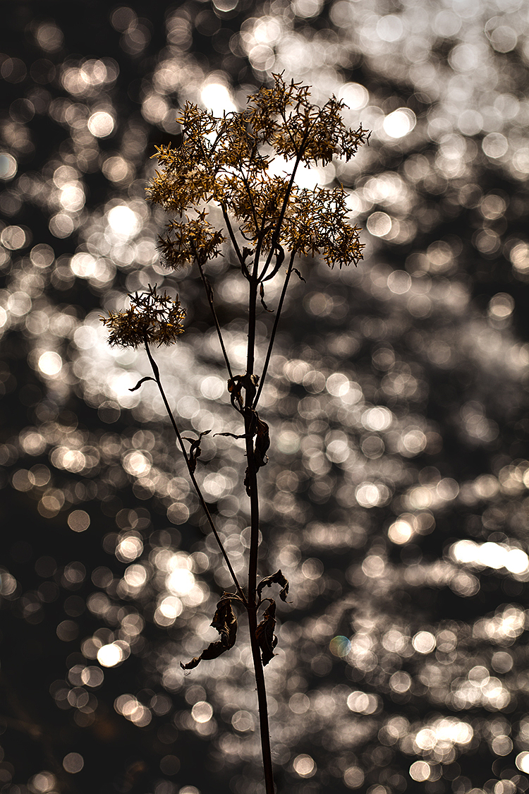 Light Blossoms *