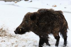 Hungry Boar *