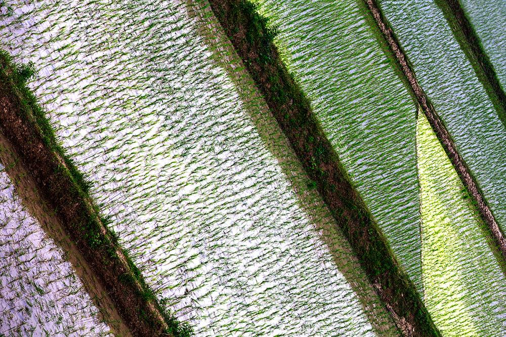 rice field *