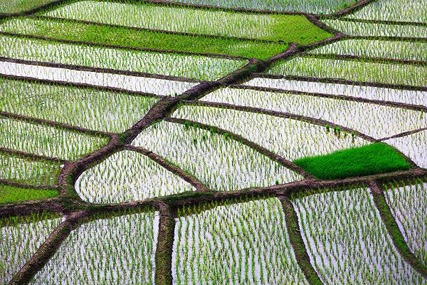 rice field **