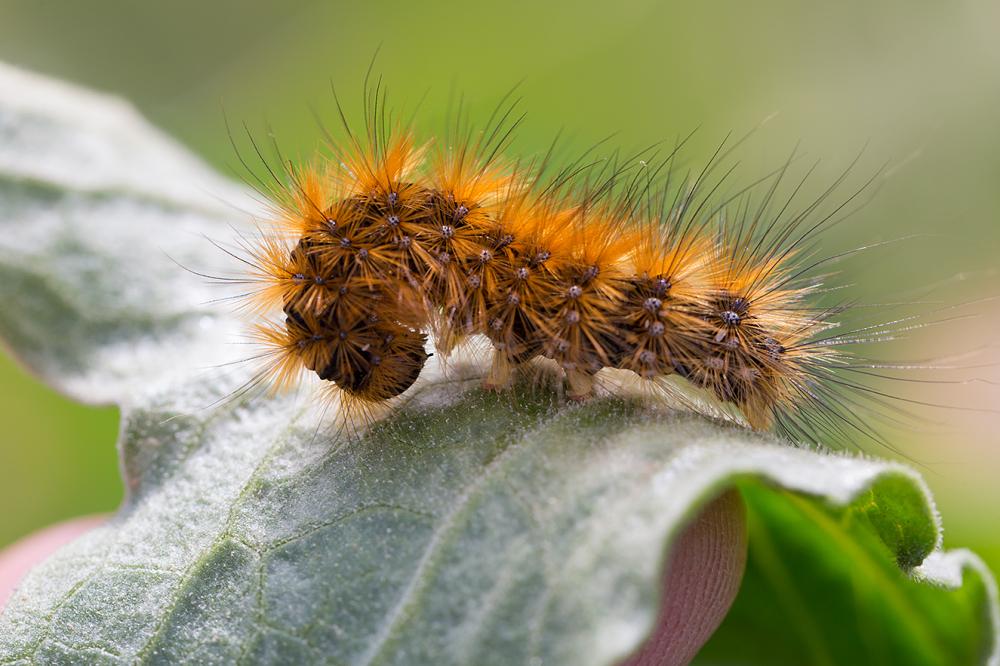 shy larvae
