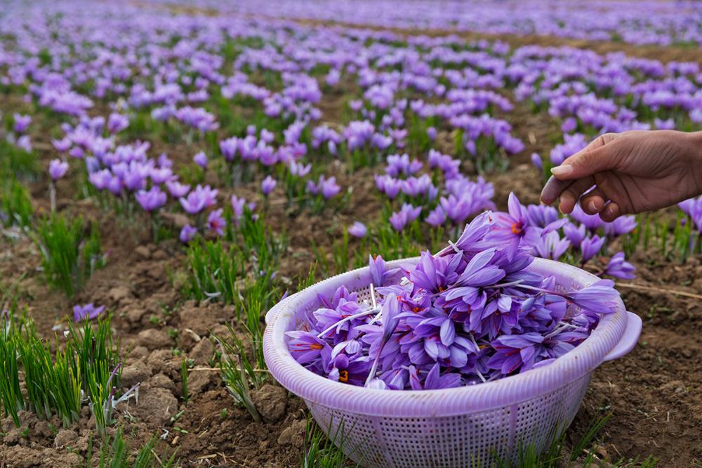 Saffron harvest *