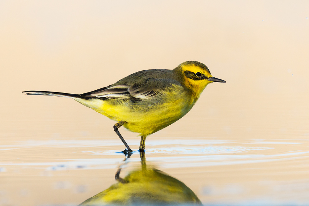 """Citrine Wagtail"""
