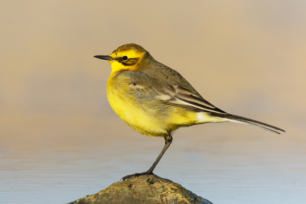 Citrine Wagtail*
