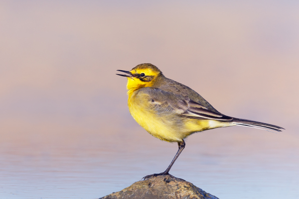 Citrine Wagtail**