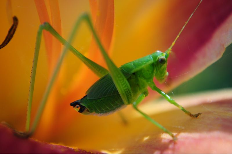 Katydid loves lily