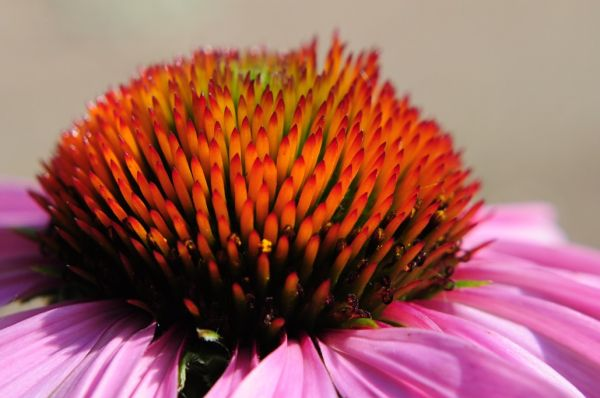 Up Close on a coneflower