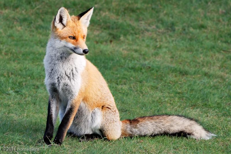 Fox, Parco Vellino, Abruzzo, Italy