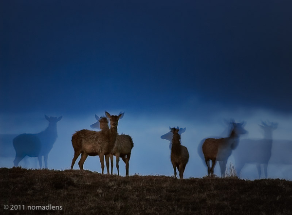 deer at Achiltibuie, Wester Ross, Scotland