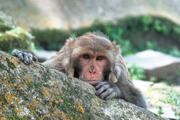 Rhesus Macaque at Pashupatinath, Nepal
