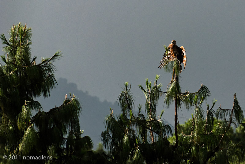 bird of prey, Nagarkot, Nepal